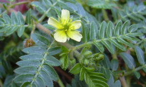 Tribulus Terrestris Review: What is it?