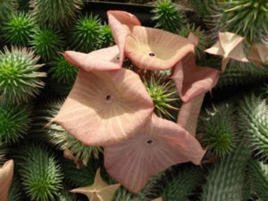 phenocal-ingredients-hoodia-gordonii