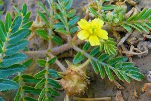vasoultra-ingredients-tribulus-terrestris